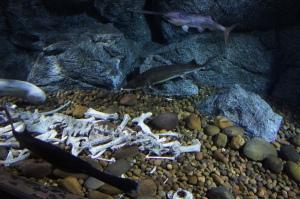 ฉลามปากเป็ด กับปลาสเตอเจี้ยน (ที่ออกไข่มาทำไข่ปลาคารเวียร์)