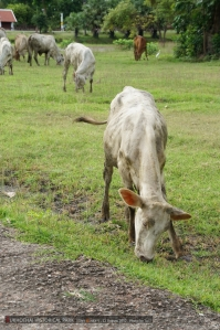 ขากลับวัวเยอะแยะ เสียวเดินผ่านแล้วมันวิ่งชนจัง