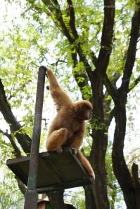 ลิง โหนโชว์คนดูมากมาย