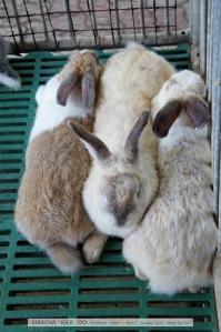 กระต่าย นอกจากนี้ก็พวกแพะ ม้าแคระ อูฐ