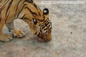 ส่วนกรงนี้เป็น 50 บาทยิงอาหารเสือ ถ้ายิงถูกเป้าอาหารจะตกไปให้เสือ
