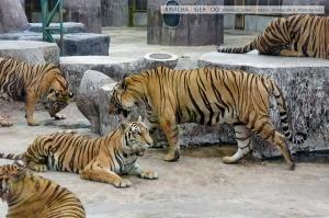 เสือเยอะดี