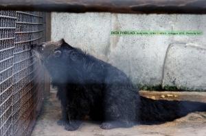 หมีขอ