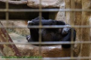 ลิงชิมแพนซี ท่าแบบคนมีเรื่องหนัหัวเชียว