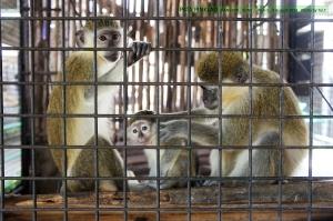 ลิงมาเป็นครอบครัว ตอนแรกมีแค่แม่กะลูก พอตั้งกล้องพ่อรีบวิ่งมาเข้ากล้องด้วย