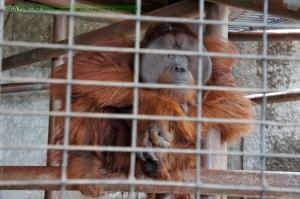 ลิงอุรุงอุตังฝั่งตรงข้ามนี่ก็ตัวใหญ่ไม่แพ้กันเลย (อายุคงมากแล้ว)