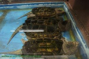 เต่าแอลลิเกเตอร์ จากถิ่นอเมริกาใต้