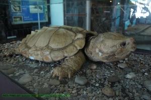 เต่าแอลลิเกเตอร์แบบโตเต็มที่ใหญ่มาก