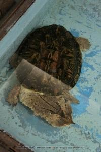 เต่ามาตามาต้า จากลุ่มแม่น้ำอเมซอน