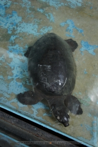 เต่าร่อนจากนิวกินี